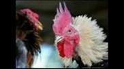 лудите..кокошки xd