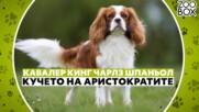 Кавалер Кинг Чарлз шпаньол: кучето на аристократите