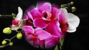 Wilde Orchidee - Die Flippers