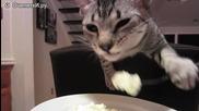 Коте се храни с вилица.
