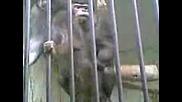 Маймуни Се Натискат