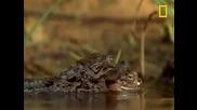 Бебе крокодил усъвършенства ловните си умения...
