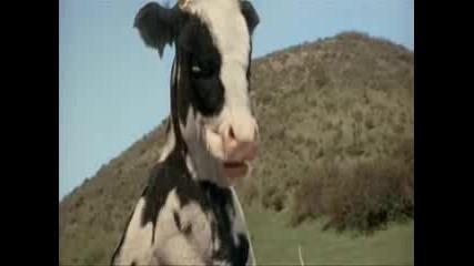 [lambo]луда Крава От Матрицата?!?!