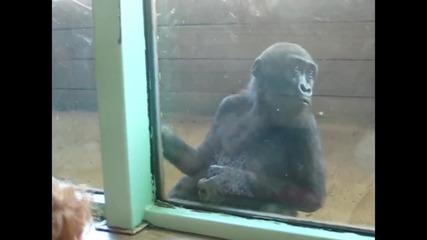 Приятелство между малко момиченце и бебе горила