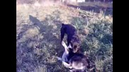 Игра между кучета