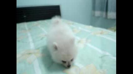 Бял померан бебе