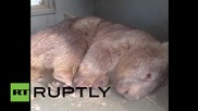 Australia: Depressed wombat finds solace in cuddly toy