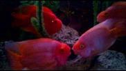 Риби се натискат / Ribi se natiskat