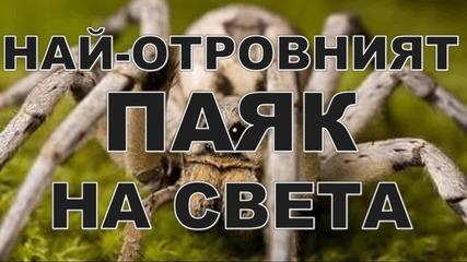 Най-отровният паяк на света