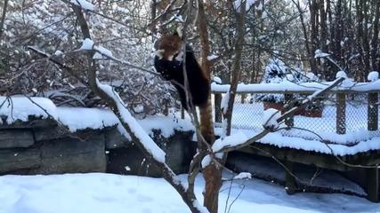 Червена панда се радва на снега