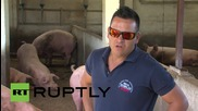 Spain: Pigs enjoy air-conditioning and classical music at five-star farm