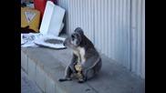 Много сладка коала гризе ябълка