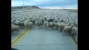 Огромно стадо овце