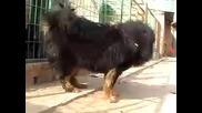 Тибетски Мастиф - Лъвска Грива - #1