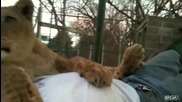 Ето как обича една истинска лъвица !