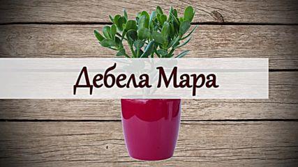 Растението Дебела Мара - лек за тялото