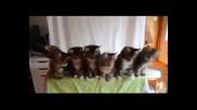 Котешки синхрон
