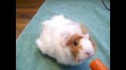 Морско свинче яде морков