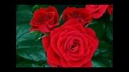 Как се разпуква роза(забързани кадри)