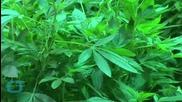 U.S. Anti-legalization Group Urges More Access to Marijuana Research