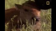 Борба между бизони за женска
