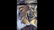 тигрите са готини !!!