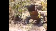 комодски варан яде прасе