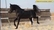 Най-красивия арабски кон - черен жребец !