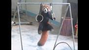 Червена панда прави гимнастика ..