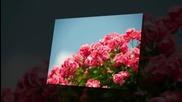 Рози за вас от Koinova