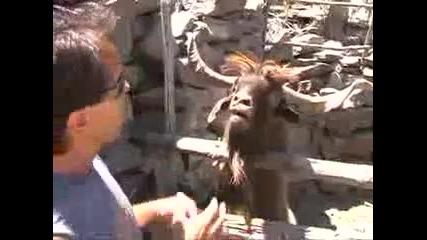 Коза плюе водещ смях