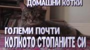 Домашни котки големи почти колкото собствениците си!