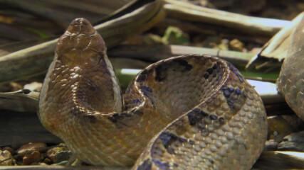 Малайската усойница | Седмицата на змията | NG Wild Bulgaria