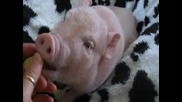 сладко малко прасенце