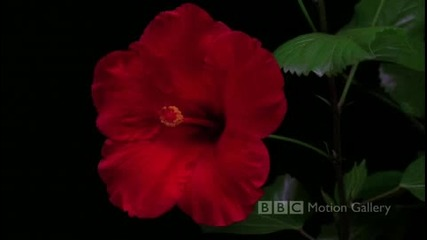 Честит Празник! - Цветята из Timelapse на Bbc