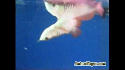 Изумителна риба