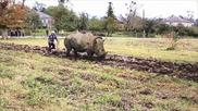 Как се оре нива с ... носорог!