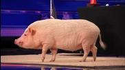 Тази свиня направи такова впечатление на журито на Америка търси талант, че чак получи целувка