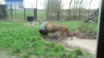 Лъв се заклещи във варел с храна