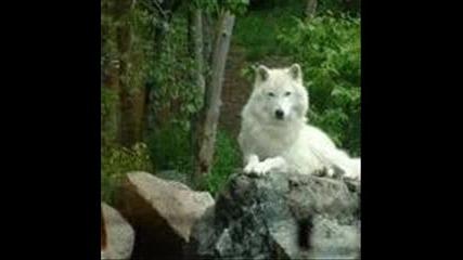 вълците бяс 3