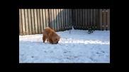 Чау-чау - най-прекрасната порода! Кученце си играе в снега