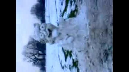 Много Як Снежен Човек