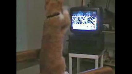Котка Боксьор.