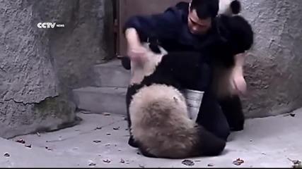 Този човек се опитва да обезпаразити 2 малки панди