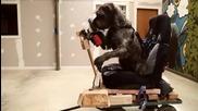 Първото куче шофьор в света
