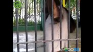 Орангутан краде тениска
