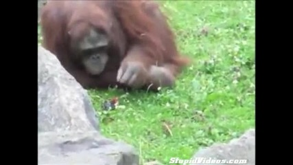 Орангутан спасява малко птиче