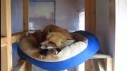 Ето къде спи и как хърка сладкото лисиче Ронрон