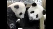Много сладки панди се пързалят