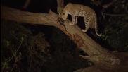 Леопард убива бабун и осиновява малкото му